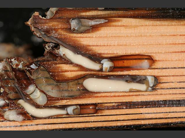 Driftwood Bored By Shipworms (termites of the sea ...